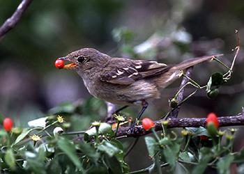Peperzaden - Vogel
