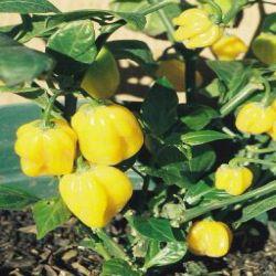 Burkina Yellow / NEW