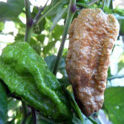Bhut Jolokia Mustard