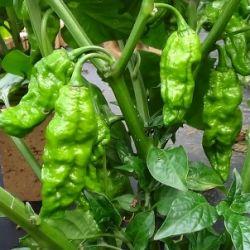 Bhut Jolokia Green