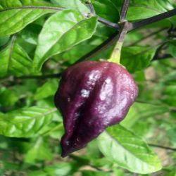 Bhut Jolokia Purple