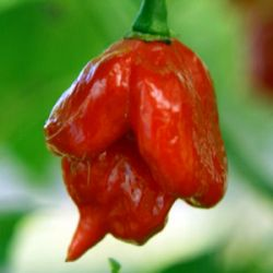 Trinidad Scorpion Butch Taylor Red